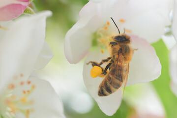 Zbliżenie pszczoły pracowicie zbierającej nektar na kwiatach jabłoni