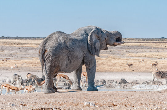 African elephant drinking water at the Nebrownii waterhole