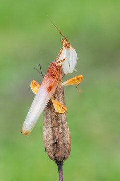 Mantis - walking flower mantis - Hymenopus coronatus