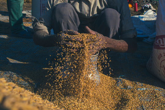 Farmer holding rice grains after gathering  and storing it inside a metal container during the Pokhara rice production harvest in Nepal.
