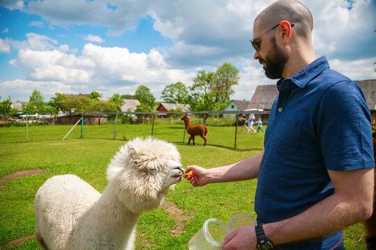 Man feeding white alpaca on the farm