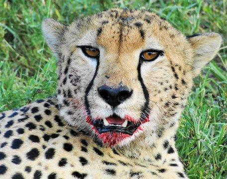 ghepardo tanzania