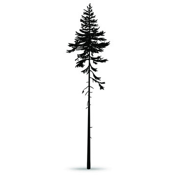 Forest pine. Tall ship pine. Hand-drawn silhouette, vector illustration on a white background.