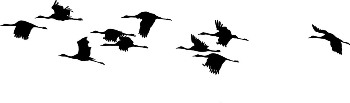 silhouettes in flight of Common Crane (Grus grus), isolated on white background