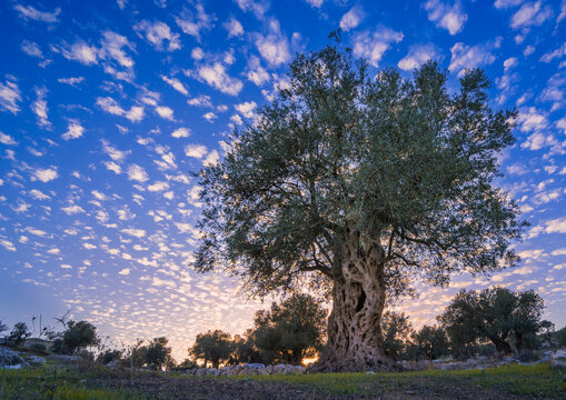 Olive tree in a grove grown by monks of Mar Elias Monastery for olive oil, with beautiful wispy sunset clouds, Jerusalem Israel