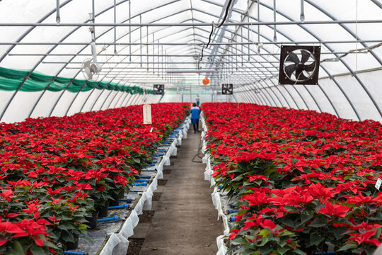 The bright red flowers of poinsettia, otherwise called the Christmas star, with dark green leaves. Many flower pots with red poinsettias in Green house for sale