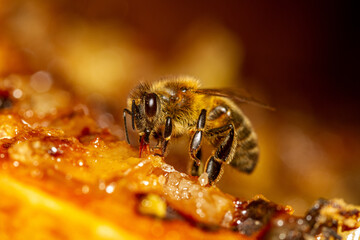 Honey bee collects honey from the frame.
