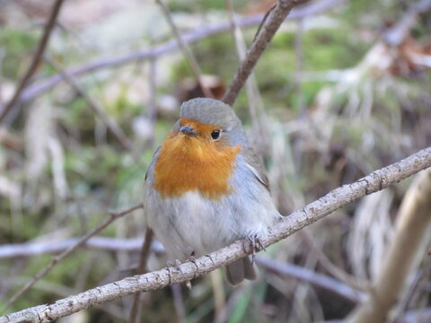 Close up of an european robin (Erithacus rubecula) with a orange breast
