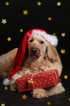 Golden doodle dog with christmas gifts