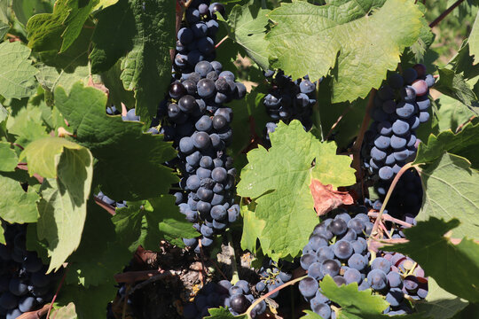 Closeup of old vine zinfandel red wine grapes in a vineyard within Lodi, California
