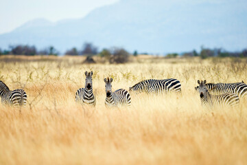Wild African zebras seen during a safari in a field with tall, dry grass in Tanzania, East Africa