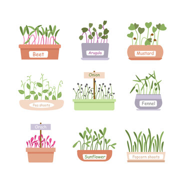 Cartoon fresh organic sprouted plants, baby greens or microgreens growing in home garden pot boxes for salad menu, superfood leaf. Micro greens sprouts food vector illustration set.