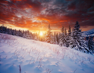 Wall Mural - Scenic image of spruces tree in frosty evening. Location place Carpathian mountains, Ukraine.