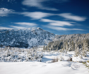 Wall Mural - Exotic winter spruces in snow on a frosty day. Location place Carpathian mountains, Ukraine, Europe.