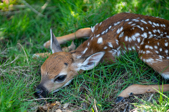 Newborn Deers bambi and wild animals concept. Fawn Resting. Baby roe deer. Young wild roe deer hidden in tall grass. Capreolus capreolus. New born roe deer, wild spring nature.