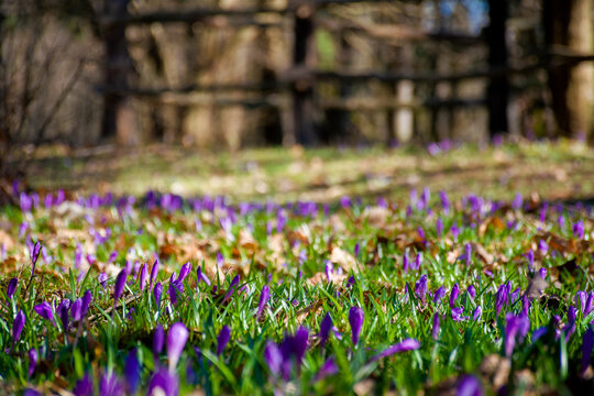 purple crocus flowers in spring. beautiful nature scenery on a sunny day