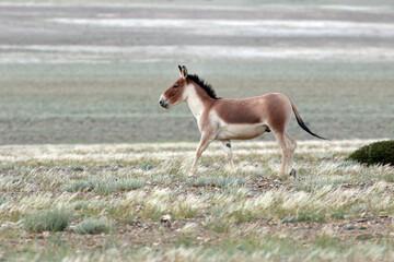 Fototapeta  Kiang, Equus kiang