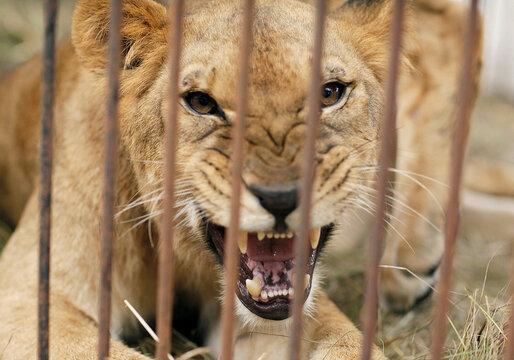 A female lion roars in a cage in eastern Santa Cruz
