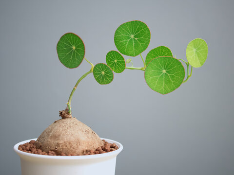 Sapling (Stephania erecta Craib), Ornamental plants for minimalist style home decoration on wooden table with gray background and copy space.