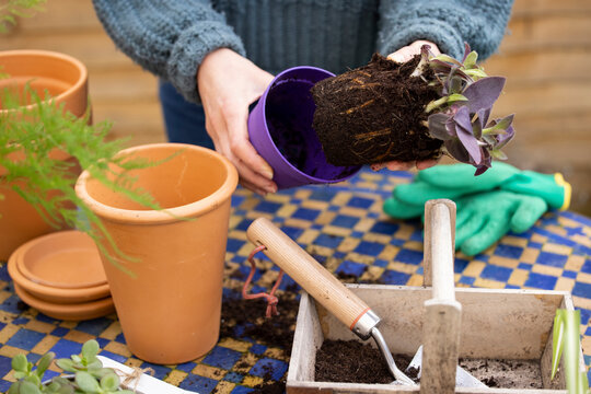 Close Up Of Woman Re-Potting Houseplant Into Larger Compost Filled Pot Outdoors