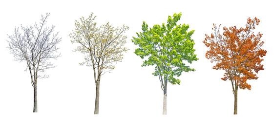 Fototapeta four seasons medium maple tree isolated on white obraz