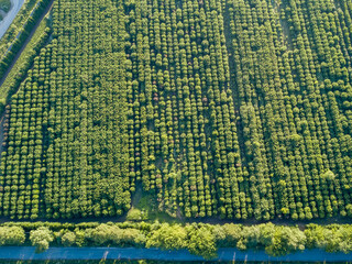 Wall Mural - Aerial view from a drone above trees plantation on a summer sunny day.