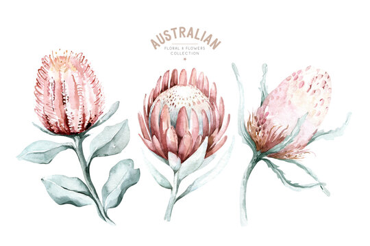 Set of watercolor protea flower and tropical leaves, hand painted illustration of exotic australian and african floral elements isolated on a white background.