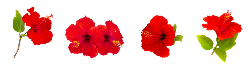 Set of tropical hibiscus flowers on white.