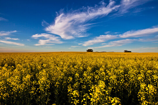 Spectacular Canola fields outside Durbanville in the Western Cape of South Africa