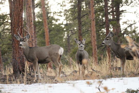 Mule Deer Bailey Colorado
