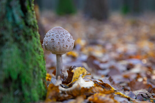 Kite in forest , Macrolepiota mushroom in natural environment , kite fungus growing in forest, Kania czubajka