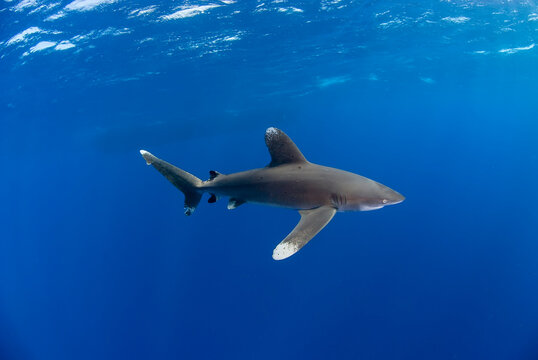 Oceanic white tip in the blue. The shadow of a boat in the background.