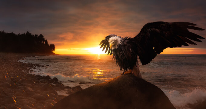Big Bald Eagle with wings Open sitting on the Ocean Coast during a dramatic sunset. Composite. Backgroun taken in Seaside, Oregon, United States of America.