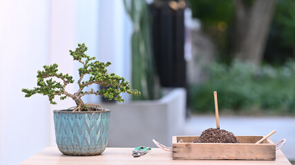 Fototapeta A small bonsai tree in a ceramic pot and bonsai pruning tools on wooden table.