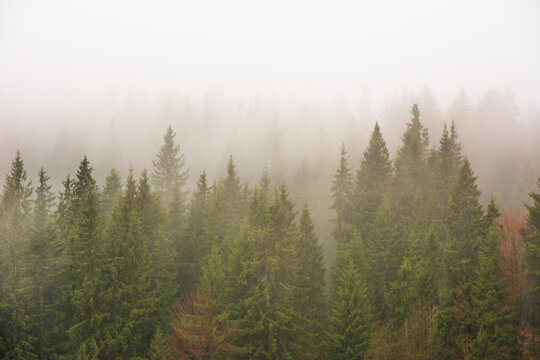 The Carpathian forest is covered with fog in the mountains