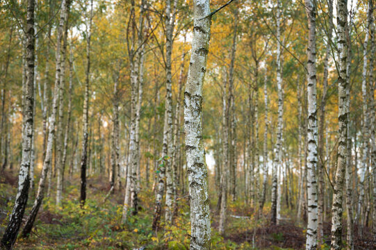A wooded area filled with silver birch tree trunks during autumn in southern Sweden