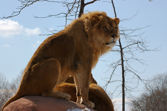 Male and female lions perched on a lookout