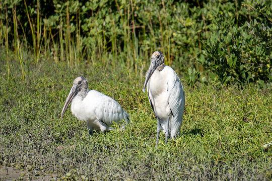 Pair of wood storks in Anastasia State Park Florida