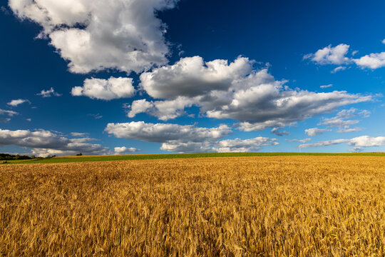 cereal field with blue sky and white cumulus clouds