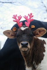 Wall Mural - Portrait of Reindeer antlers on calf during Christmas on cow farm.