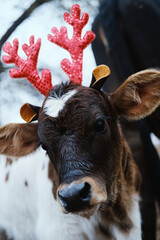 Wall Mural - Cute brown and white calf with reindeer antlers on for Christmas season.