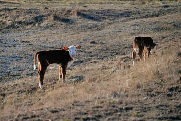 Wall Mural - Hereford calves on farm hillside during winter, beef cattle.