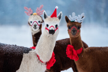 Three lovely alpacas in winter dressed for Christmas with festive horns and red Santa hat
