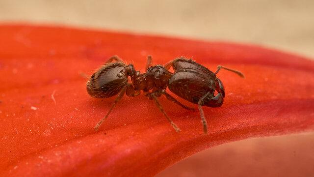 Ant walking on red petal