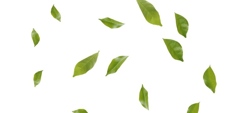 Green Tree leaves Stock Image In White Background