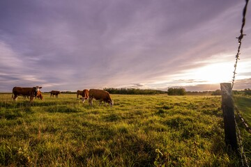 Cows in a field during sunset