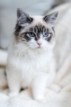 Pedigree ragdoll kitten looking away from camera