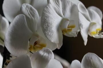 Fototapeta Storczyk Biały