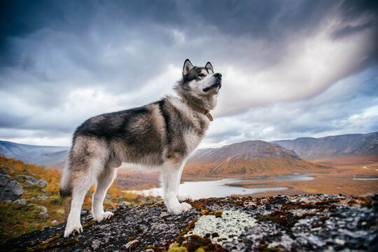 Beautiful Alaskan Malamute poses in the mountains. Looks forward proudly.