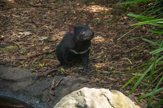Tasmanian devil (Sarcophilus harrisii) with white markings